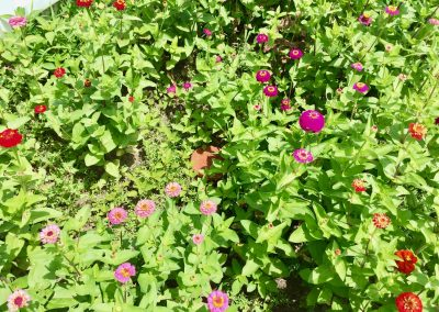 Olla surrounded by zinnias